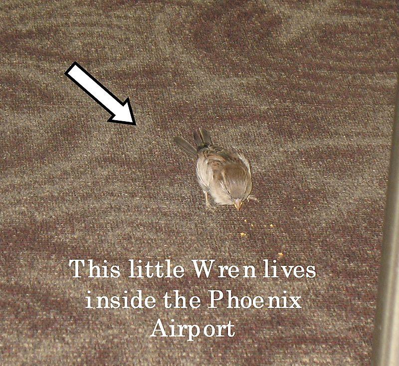Airport Wren3.